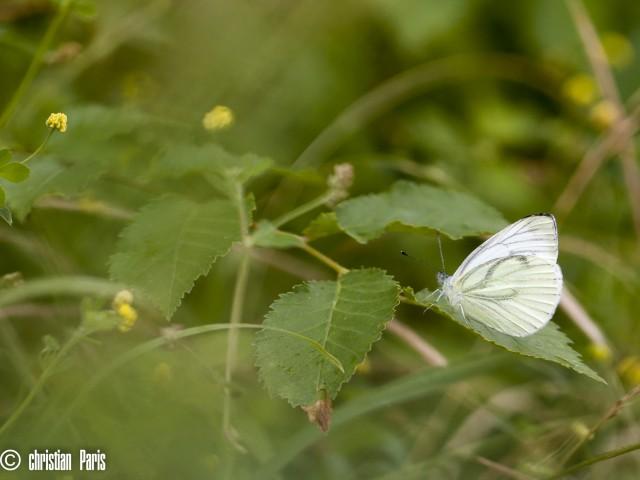 2016-07-03_sortie papillons GV anime par romain © Christian Paris