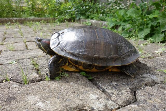 2016-07-05_tortue de floride trouvee sur le GV par rom © ES (12)
