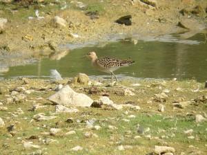Combatant varié juvénile en halte migratoire sur le Grand-Voyeux (06-09-13)