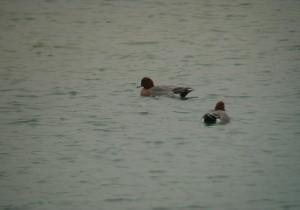 Canards siffleurs mâles sur l'étang des Dix Quartiers