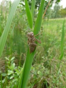 Exuvie d'une libellule