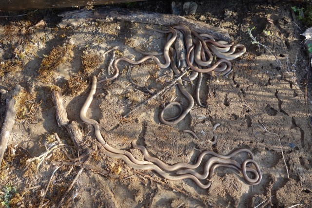 Plaque reptile 13 - Nbre d'orvets