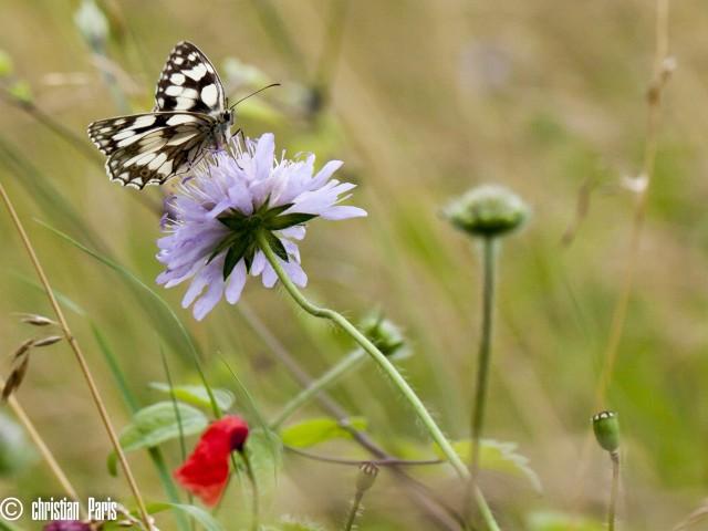 animation papillon GV_ Demi deuil_3-07-16 © Christian paris