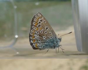 Azuré commun (Polyommatus icarus), petit papillon de la famille des Lycènes