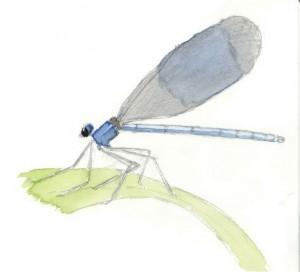 Calopteryx mâle - Esnault sarah