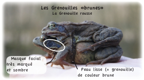 grenouille rousse