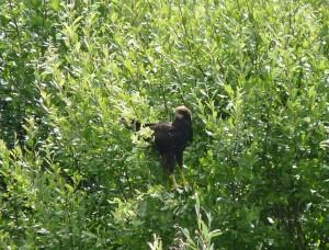 Busard des roseaux juvénile sur le Grand-Voyeux (26 juillet 2013)