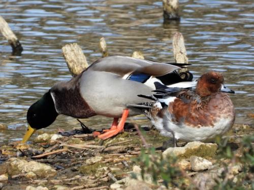Canards colvert et siffleur
