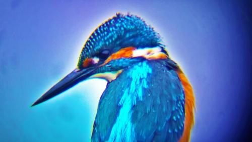 Martin-pêcheur couleurs