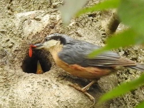 Sitelle dans le nid