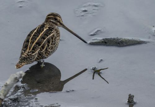 Bécassine des marais à la plaine de Sorques