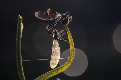 Calopteryx eclatant (Calopteryx splendens)