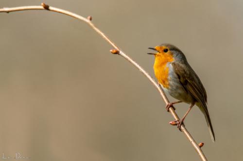 Chanteur solitaire