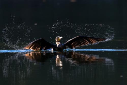Cormoran sortant de l'eau après la pêche