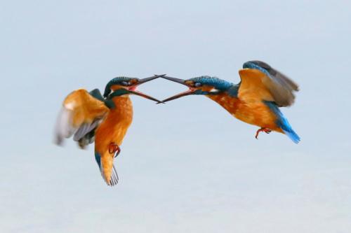Couple de Martins pêcheurs