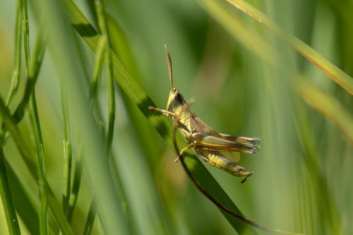 Criquet posé sur son brin d'herbe.