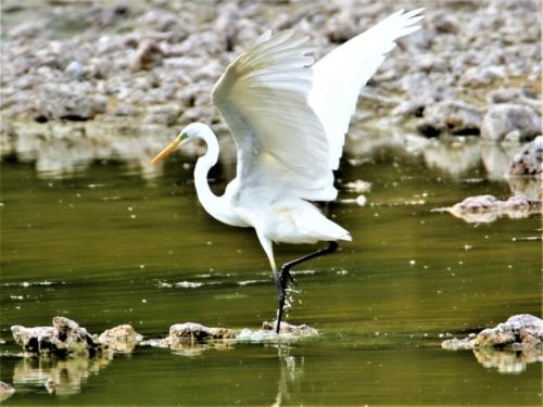 Grande aigrette ailes ouvertes