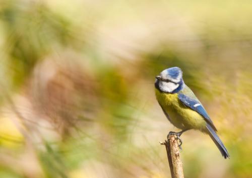 Mésange bleue Bois de Vaires sur Marne