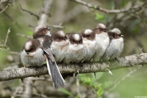 Petits d'Orites à longue queue attendant la nourriture